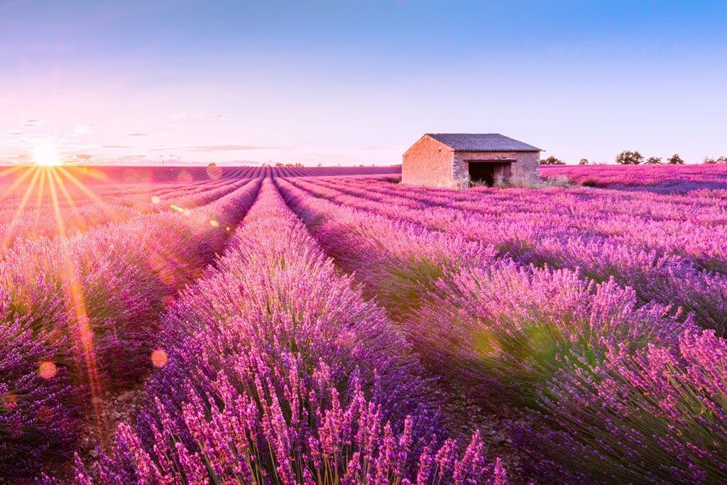 Lavender Fields - Provence, France