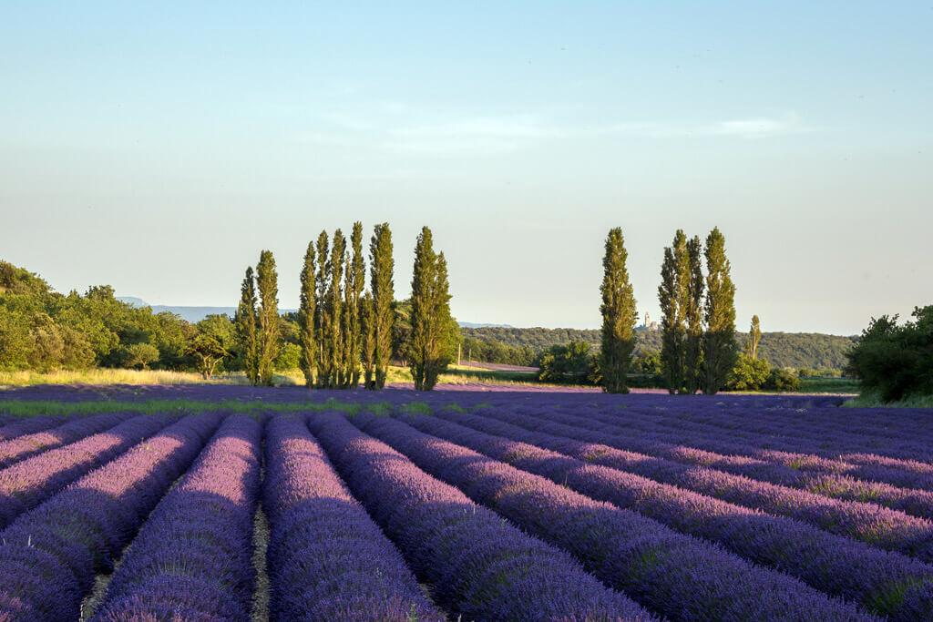 Lavender Fields Drome Provencale